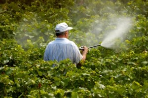 A farmer sprays his vines. He is wearing no protective equipment.