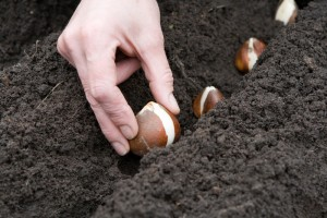 Planting Bulbs the Wong way